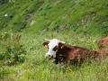 Vache d'Abondance